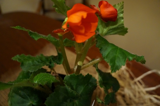 Orange begonia potted plant